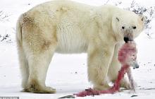 Hết thức ăn do biến đổi khí hậu và hoạt động khai thác của con người, gấu Bắc Cực quay sang ăn thịt đồng loại, gấu mẹ ăn gấu con