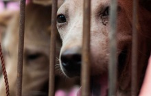 Trung Quốc đang tiến tới cấm hẳn thịt chó