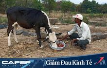 Ảnh hưởng bởi dịch Covid-19, nông dân Ấn Độ phải cho bò ăn dâu tây, đem hoa làm phân bón