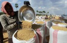 Xuất khẩu gạo của Campuchia tăng mạnh trong 6 tháng đầu năm