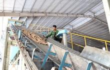 Khó tìm đầu ra, các nhà máy sản xuất tinh bột sắn hoạt động cầm chừng