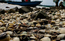 Ảnh: Hàng tấn ngao chết trắng bờ biển, người nông dân Hà Tĩnh rơi vào cảnh khốn khổ