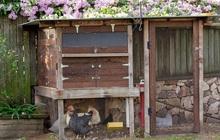 Úc: Gà giống đột nhiên hiếm như giấy vệ sinh trong đại dịch Covid-19