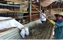Thu nhập hàng trăm triệu đồng từ mô hình nuôi dê giống và dê thương phẩm