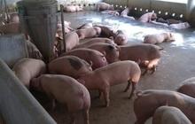 Sau 1 tháng giảm giá, doanh nghiệp tăng giá lợn hơi phá vỡ cam kết với Chính phủ