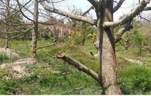 Nhà vườn xót xa khi thành quả lao động bị tiêu tan vì hạn mặn
