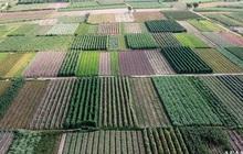 Flycam: Trên cánh đồng rau bạc trắng, người nông dân khóc ròng vì mất trắng vụ thu hoạch do sâu tơ phá hoại