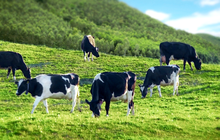 """""""Hưởng lợi"""" từ công ty con Mộc Châu Milk, Vilico (VLC) báo lãi 105 tỷ đồng quý 3, hơn gấp đôi cùng kỳ"""