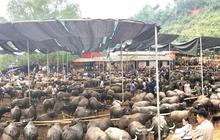 Bắc Kạn sẽ không đóng cửa chợ phiên trâu bò lớn nhất tỉnh