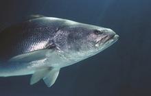 Đây mới là công dụng thực sự của bong bóng cá, xóa bỏ hiểu nhầm phổ biến hơn 300 năm qua