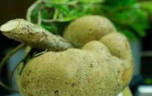 """Loại nấm mọc trên ngọn cây, giá vài triệu/kg vẫn được nhà giàu Việt lùng mua quanh năm vì """"ít có, khó tìm"""""""