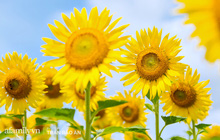 Mới tháng 9, cánh đồng hoa hướng dương và đầm sen ngay trong Sài Gòn đã nở cực rộ đẹp như Tết, tốn có 40.000 đồng được ngắm cả ngày trời!