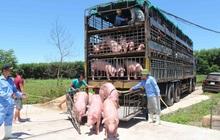 Cảnh báo nhập lợn từ Thái Lan, rồi xuất 'chui' qua Trung Quốc