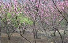 Thí điểm dán tem phân biệt đào rừng ở Sơn La