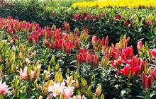 Đà Lạt tung ra thị trường nhiều giống hoa độc, lạ dịp Tết Nguyên đán