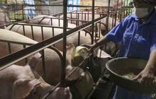 """Giá lợn giảm sâu, nông dân """"treo chuồng"""", nguy cơ thiếu thịt vào cuối năm"""