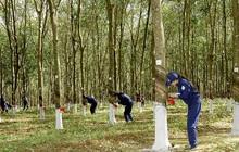 Cao su Tây Ninh (TRC): Nhận tiền bồi thường cây cao su, lãi ròng quý 3/2021 tăng cao gấp 4 lần cùng kỳ với 32 tỷ đồng