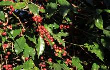 Xu hướng giá cà phê tăng cao sẽ vẫn tiếp diễn vì nguồn cung hạn hẹp