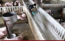 Thông tin tồn đọng 8 triệu con lợn trong chuồng là không chính xác