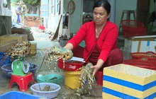 Tôm hùm ở Phú Yên chết hàng loạt, người nuôi thiệt hại tiền tỷ