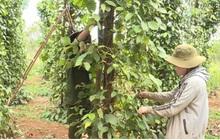 Hồ tiêu giảm giá, mất mùa khiến người trồng gặp khó