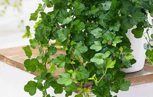 Muốn có tài lộc, may mắn, nhất định phải trồng 8 loại cây này trong nhà