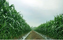 Nông dân Tiền Giang trồng bắp lãi gấp 2-3 lần so với trồng lúa