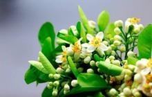 Tháng 3 mùa hoa bưởi: Vừa đẹp, thơm lại vừa làm thuốc chữa bệnh siêu hay