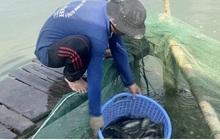 Nông dân nuôi cá sặc rằn tại Hậu Giang thua lỗ nặng