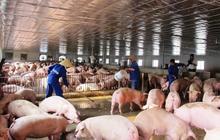 Chăn nuôi Mitraco (MLS) trả cổ tức đợt 1/2020 bằng tiền tỷ lệ 40%