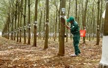 Cao su Đồng Phú (DPR) đưa gần 3 triệu cổ phiếu quỹ ra bán