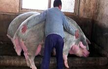 """Đàn lợn của Trung Quốc """"trở lại và lợi hại hơn xưa"""": Bắc Kinh sắp giành lại vị trí """"khách hàng số 1"""" của Mỹ?"""