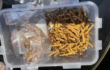 Bắt giữ lô Đông trùng hạ thảo Tây tạng không rõ nguồn gốc lớn nhất từ trước đến nay