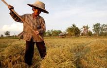 Báo Nhật: Thái Lan tìm cách vượt qua Việt Nam, lấy lại vị thế về xuất khẩu gạo