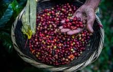 """Giá cà phê tăng 20% chỉ trong một tuần, đạt """"đỉnh"""" 6,5 năm, dự báo tăng thêm 25% nữa"""