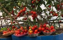 """Mẹ Đà Nẵng tạo ra """"nông trại"""" rau quả sạch trên tầng thượng giúp cả nhà vui khỏe trong những ngày giãn cách"""