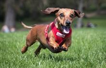 Công ty tìm cách tăng tuổi thọ cho chó được SoftBank đầu tư với mức định giá 700 triệu USD
