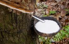 ANRPC: Nhu cầu cao su toàn cầu tiếp tục cải thiện, giá sẽ tăng trong ngắn hạn
