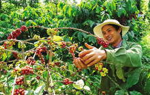 Bloomberg: Cà phê 'hoá vàng' sau cú sốc nguồn cung từ Brazil, liệu Việt Nam sẽ hưởng lợi?