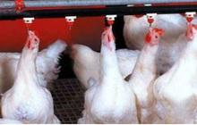 Giá gà rẻ hơn rau, hàng triệu gà giống bị đốt bỏ