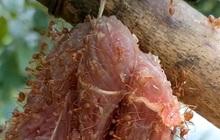 """Ở Việt Nam có món đặc sản rất """"dị"""": Mang miếng thịt bò treo lên cây, đợi kiến bu đầy mới mang đi ăn"""