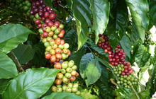 Dùng đường sắt để gỡ khó cho xuất khẩu cà phê?