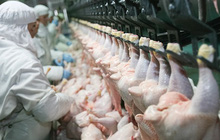 """Báo cáo gây sốc: 99% số gà siêu thị ở Mỹ mắc căn bệnh này, dấy lên tranh cãi về cách chăn nuôi """"siêu tốc"""""""
