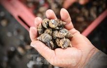 Nông dân Hà Tĩnh lao đao vì ốc hương rớt giá thê thảm