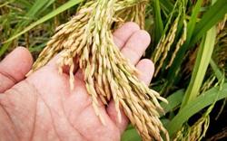 Xuất khẩu gạo tăng mạnh, giá cao nhất trong nhiều năm