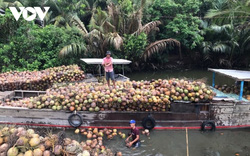 Dừa xiêm xanh đạt giá cao nhất trong vòng một năm qua