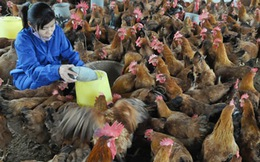 Ngành Chăn nuôi hội nhập: Đẩy mạnh tái cơ cấu