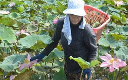 Lại phá sen trồng lúa