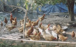 Lao đao vì thịt gà siêu rẻ nhập từ Mỹ