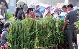 Thương lái ngừng mua, hoa lay ơn Phú Yên dội chợ